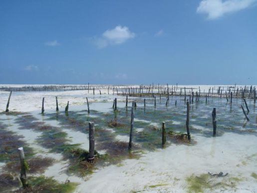 seaweed-farm